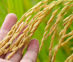 Malaysian Padi & Rice Industry: Applications of Supply Chain Management Approach