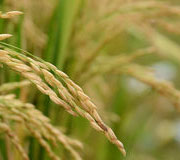 Towards Enhancing Regional Rice Supply Chains and Trading Networks Integration: A Worm's Eye View